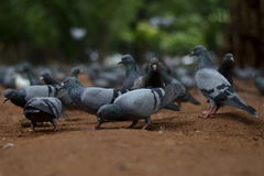 Rebanho dos pombos Imagens de Stock Royalty Free
