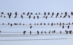 Rebanho dos pombos em fios. Yangon. Myanmar. imagens de stock royalty free