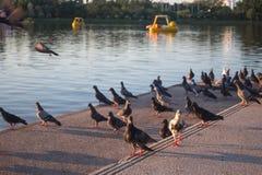 Rebanho dos pombos na ação no quadrado de cidade fotos de stock royalty free