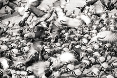Rebanho dos pombos no quadrado Fotografia de Stock