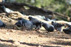 Rebanho dos pombos que bicam a grão Foto de Stock Royalty Free