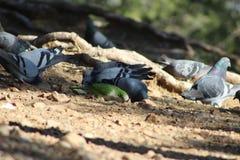 Rebanho dos pombos que bicam a grão com um convidado inesperado Fotos de Stock