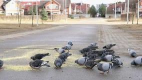 Rebanho dos pombos que comem switchgrass no parque vídeos de arquivo