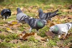 Rebanho dos pombos que procuram o alimento no parque do outono Fotos de Stock Royalty Free