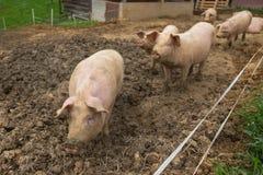 Rebanho dos porcos na exploração agrícola da criação de animais do porco Foto de Stock Royalty Free