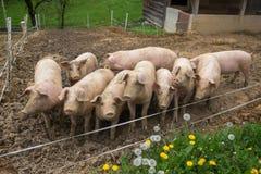 Rebanho dos porcos na exploração agrícola da criação de animais do porco Imagens de Stock Royalty Free