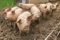 Rebanho dos porcos na exploração agrícola da criação de animais do porco Imagem de Stock Royalty Free