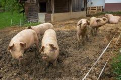 Rebanho dos porcos na exploração agrícola da criação de animais do porco Fotografia de Stock Royalty Free