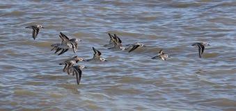 Rebanho dos Sanderlings Imagem de Stock
