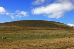 Rebanho dos sheeps Fotos de Stock