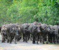 Rebanho dos touros Fotografia de Stock Royalty Free