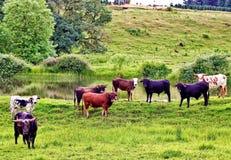 Rebanho dos touros Imagem de Stock Royalty Free