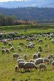 Rebanho e pastor dos carneiros imagens de stock