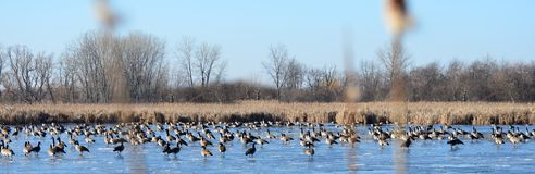 Rebanho enorme do ganso de Canadá no lago congelado peter Exner Marsh, Illinois imagens de stock