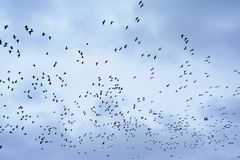 Rebanho grande da formação dos gansos em voo em um céu nebuloso da noite Fotos de Stock Royalty Free