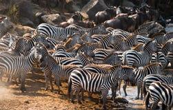 Rebanho grande das zebras que estão na frente do rio kenya tanzânia Parque nacional serengeti Maasai Mara Imagem de Stock