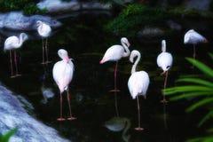 Rebanho limpo eu mesmo dos flamingos no jardim zoológico imagem de stock