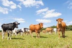 Rebanho misturado de gados bovinos da leiteria de Holstein e de Limousin em um pastu foto de stock royalty free