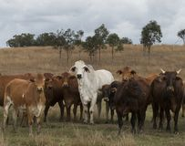 Rebanho misturado do gado australiano que vagueia livre em Queensland Austrália Fotografia de Stock Royalty Free