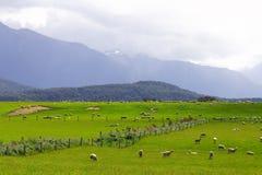 Rebanho Nova Zelândia dos carneiros   Fotos de Stock