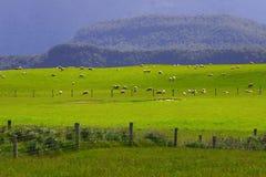 Rebanho Nova Zelândia dos carneiros Imagem de Stock Royalty Free