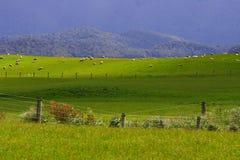 Rebanho Nova Zelândia dos carneiros   Imagem de Stock
