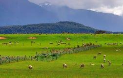 Rebanho Nova Zelândia dos carneiros Fotografia de Stock