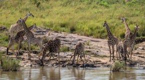 Rebanho pequeno da água potável dos girafas no parque nacional de Kruger Imagens de Stock Royalty Free