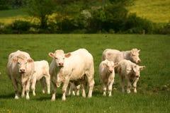 Rebanho pequeno das vacas Foto de Stock Royalty Free