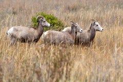 Rebanho pequeno de carneiros de veado selvagem. Foto de Stock Royalty Free
