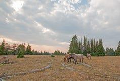 Rebanho pequeno dos cavalos selvagens que pastam ao lado dos logs da palha no por do sol na escala do cavalo selvagem das montanh foto de stock