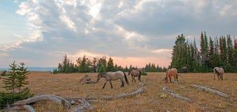 Rebanho pequeno dos cavalos selvagens que pastam ao lado dos logs da palha no por do sol na escala do cavalo selvagem das montanh imagem de stock