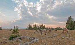 Rebanho pequeno dos cavalos selvagens que pastam ao lado dos logs da palha no por do sol na escala do cavalo selvagem das montanh fotografia de stock