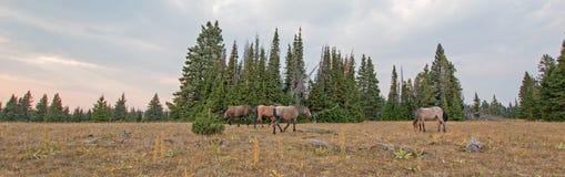 Rebanho pequeno dos cavalos selvagens que pastam ao lado dos logs da palha no por do sol na escala do cavalo selvagem das montanh Fotografia de Stock Royalty Free