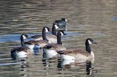 Rebanho pequeno dos gansos de Canadá que nadam em Autumn Pond foto de stock