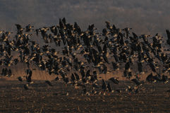 Rebanho surpreendente dos pássaros no por do sol Imagens de Stock Royalty Free