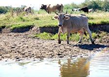 Rebanhos animais da vaca Imagens de Stock