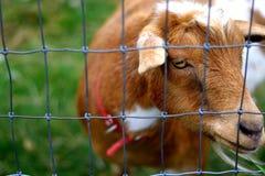 Rebanhos animais de exploração agrícola Imagens de Stock Royalty Free