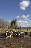 Rebanhos animais em um feed-lot foto de stock