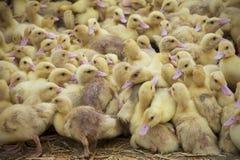 Rebanhos animais intensivos, cultivo industrial Fotografia de Stock