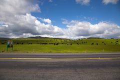 Rebanhos animais na ilha norte Fotografia de Stock Royalty Free