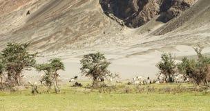 Rebanhos animais no monte dos Himalayas Imagens de Stock Royalty Free