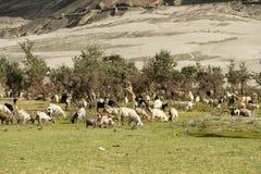 Rebanhos animais nos Himalayas Imagem de Stock Royalty Free