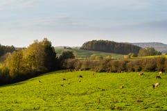Rebanhos das vacas que pastam Fotografia de Stock