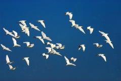 Rebanhos de egrets de gado em voo fotos de stock