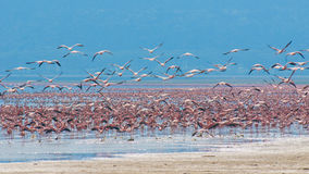 Rebanhos do flamingo Imagens de Stock Royalty Free