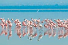 Rebanhos do flamingo foto de stock