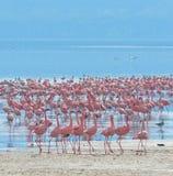 Rebanhos do flamingo Fotos de Stock Royalty Free