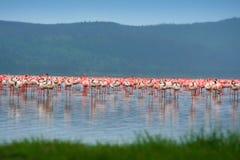 Rebanhos do flamingo Imagem de Stock Royalty Free