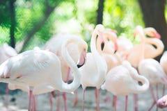 Rebanhos do flamingo, fundos naturais Imagem de Stock Royalty Free